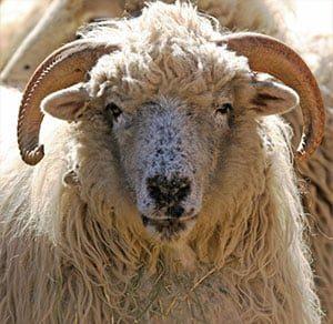 Churro Sheep at El Rancho de las Golondrinas