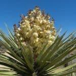 Flowering Yucca