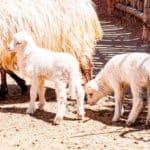 churro sheep